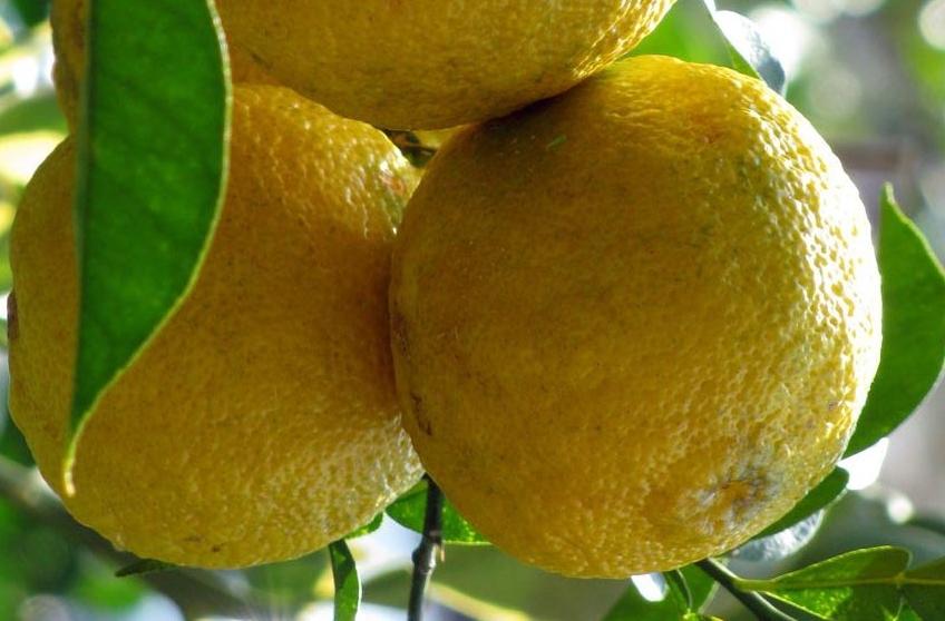 Yuzú, un citrico para el gin tonic