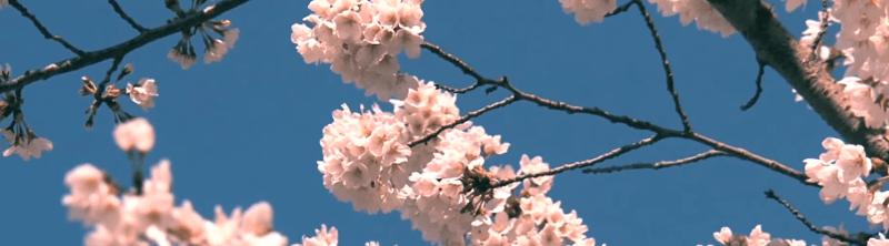 Flor de cerezo japones en ginebra burleighs pink